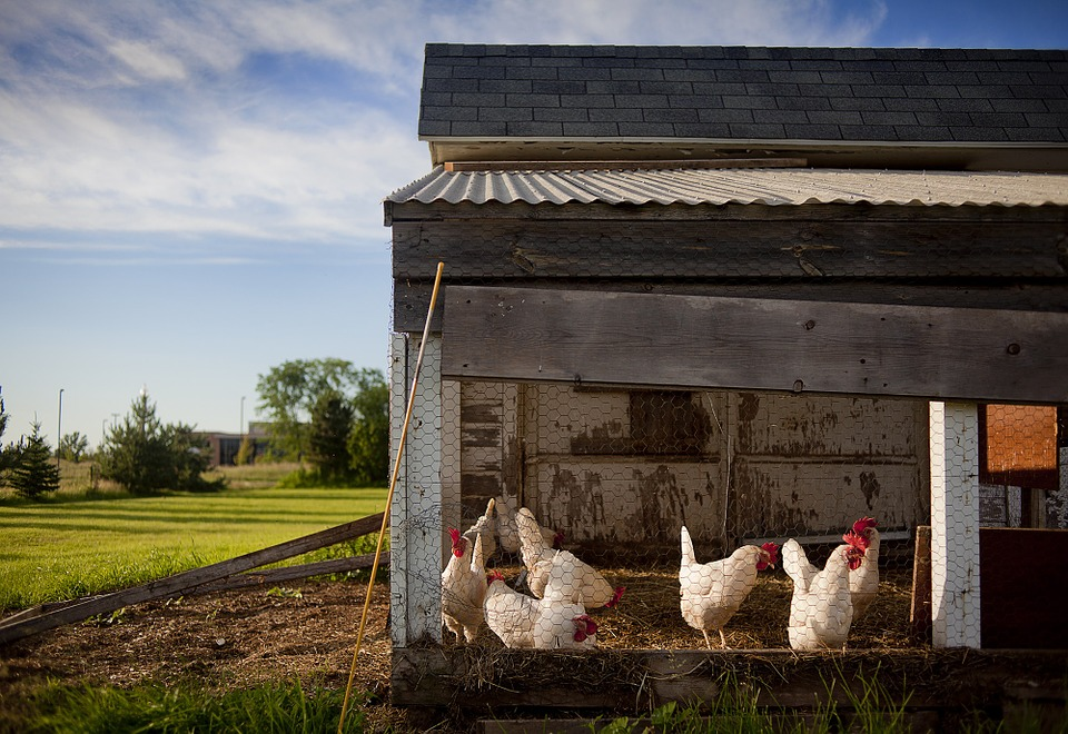 A chicken coop made of wood, wire, and corrugated metal, with six chickens inside