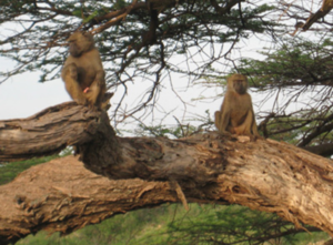 e7fcc2523f Figure 14: Baboon pair in tree: malefemale voluntary relations. Photograph  by Carol Mukhopadhyay, Tanzania, 2010. The ...