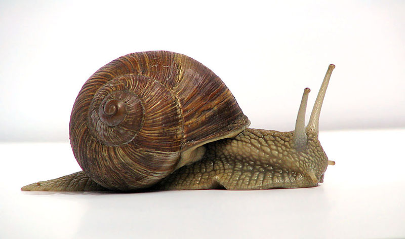 """A common garden snail moves at a rate of about 0.2 m/min, which is about 0.003 m/s, which is 3 mm/s! Source: """"Grapevine snail""""by Jürgen Schoneris licensed under the Creative Commons Attribution-Share Alike 3.0 Unported license."""