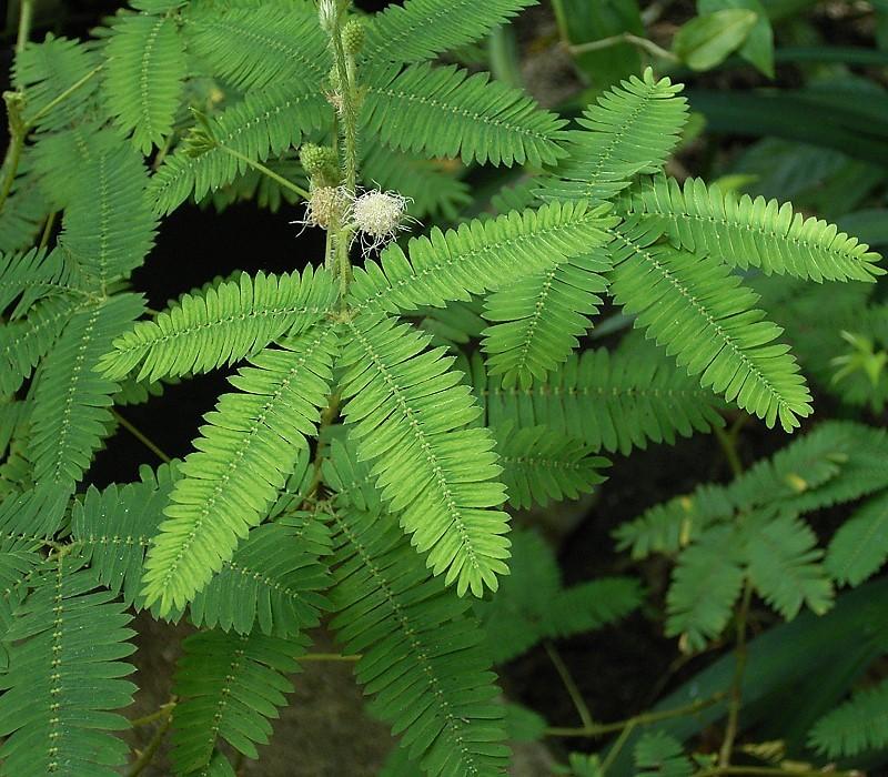 Uma fotografia da Mimosa pudica mostra uma planta com muitas folhas minúsculas conectadas a um caule central. Quatro dessas hastes se conectam.