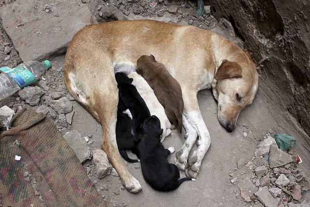 uma mãe cuidando de aproximadamente cinco filhotes. três são negros, um é marrom e o outro é amarelo pálido. A mãe é um castanho claro.