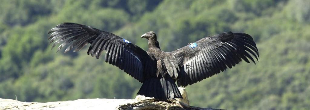 Um condor de Califórnia empoleirou-se na borda de um penhasco. Suas asas são estendidas em preparação para o vôo.