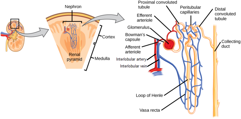 structure of a juxtamedullary nephron  note the tubules are surrounded by a  peritubular capillary network in order to allow for the controlled movement  of