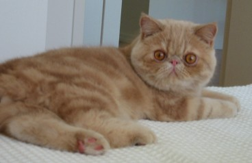 The cutest cat ever, gazing off to the left: tawny-colored fur, golden eyes, stubby little ears.