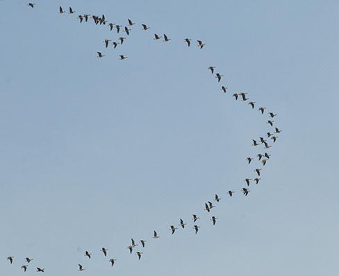 A photograph of geese flying in a V formation.