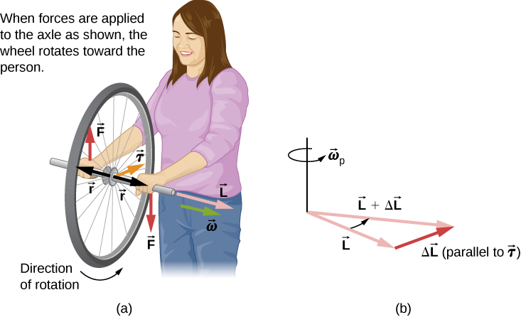 In figure a, a woman, facing the viewer, is holding a spinning bike wheel of radius r by the axle. The wheel is so that the angular velocity omega and angular momentum L are along the axis of rotation of the wheel, to her left (the viewer's right.) That is, the motion of the wheel is such that the bottom of the wheel is moving toward her (into the page.) The direction of the force F applied by her left hand is shown downward and that by her right hand in upward direction. The torque tau is toward her (into the page.) In figure b, addition of two vectors L and delta-L, which is parallel to torque tau, is shown. The resultant of the two vectors is labeled as L plus delta L. The direction of rotation, omega sub p, is counterclockwise as viewed from above.