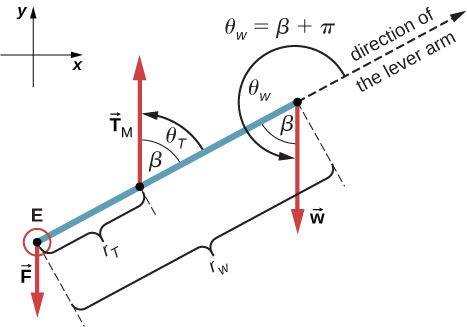 Figure is a free-body diagram for the forearm. Force F is applied at the point E. Force Tm is applied at the distance r tau from the point E. Force W is applied at the opposite side separated by r w from the point E. Projections of the forces at the x and y axes are shown. Force Tm forms and angle theta tau that is equal to beta with the direction of the lever arm. Force W forms an angle theta w that is equal to the sum of beta and Pi with the direction of the lever arm.