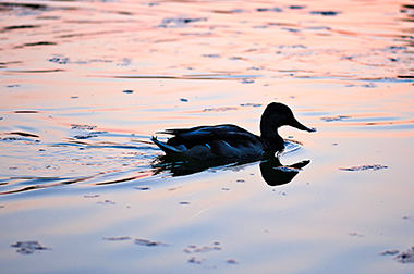 A photograph of a duck swimming in water and creating a bow wake.
