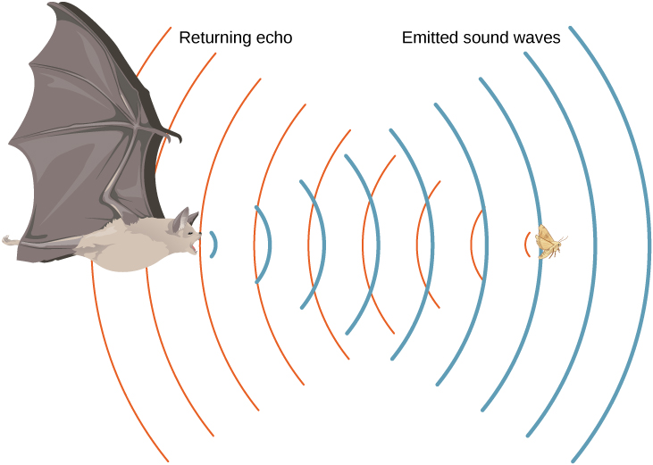 Picture is a drawing of a flying bat that emits sound waves. Waves are reflected from the flying insect and are returned to the bat.
