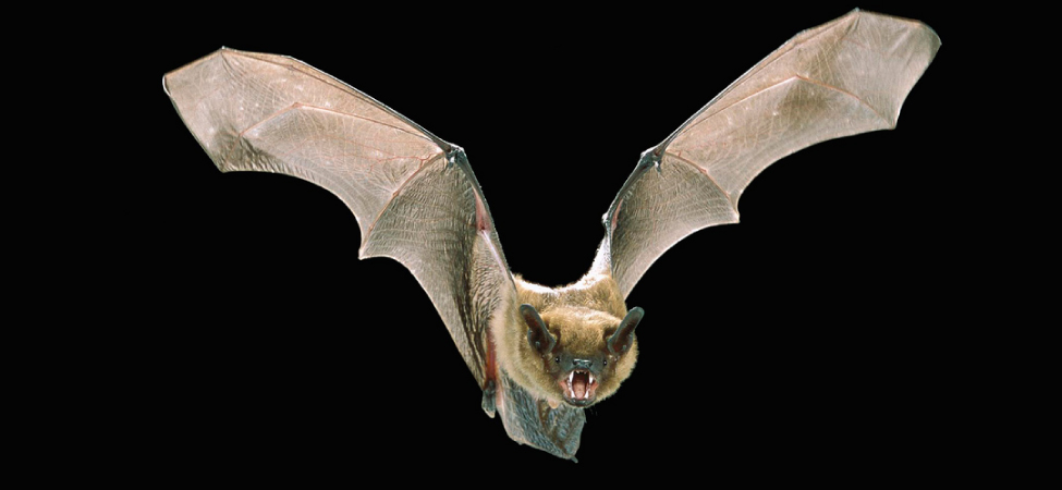 Picture shows a photograph of a flying bat with widespread wings.