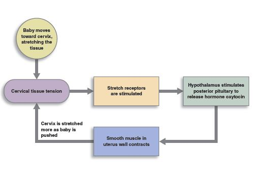graphical represention of the birth contractionsfeedback loop.