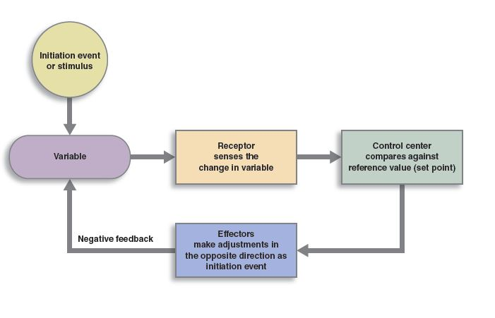 generic feedback loop that shows the input entering the system arrow to a receptor arrow to the system checking against references and arrow moving to an effector and then back to input.