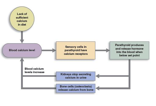 feedback loop of blood calcium levels increasing as a result of a lack of sufficient calcium in the body.