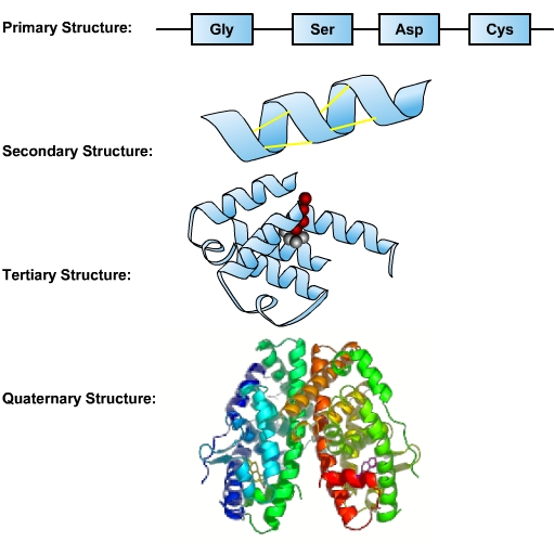 illustrations that represent the basic structures of primary, secondary, tertiary and quaternary proteins