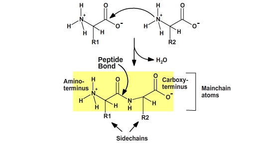 structural representation of the dehydration reaction that occurs to form a peptide bond