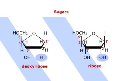 structural representations of deoxyribose and ribose, highlighing the difference between the two.