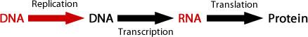process of DNA replicatioin. DNA arrow to DNA