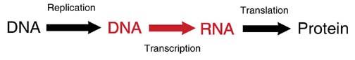 process of transcription. DNA arrow to RNA.