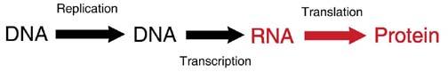 process of translatioin. RNA arrow to Protein