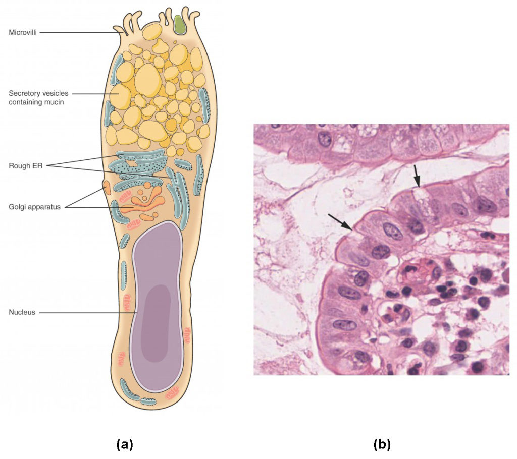 this illustration shows a diagram of a goblet cell  the goblet cell is  shaped roughly