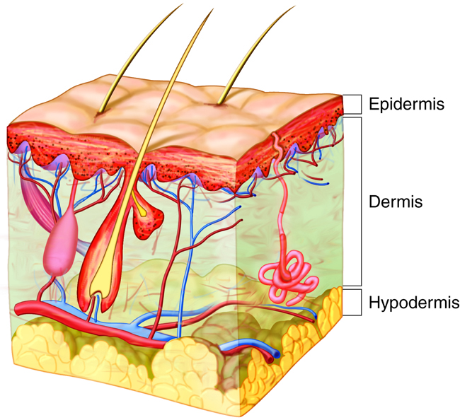 Integumentary Structures And Functions Anatomy And Physiology I