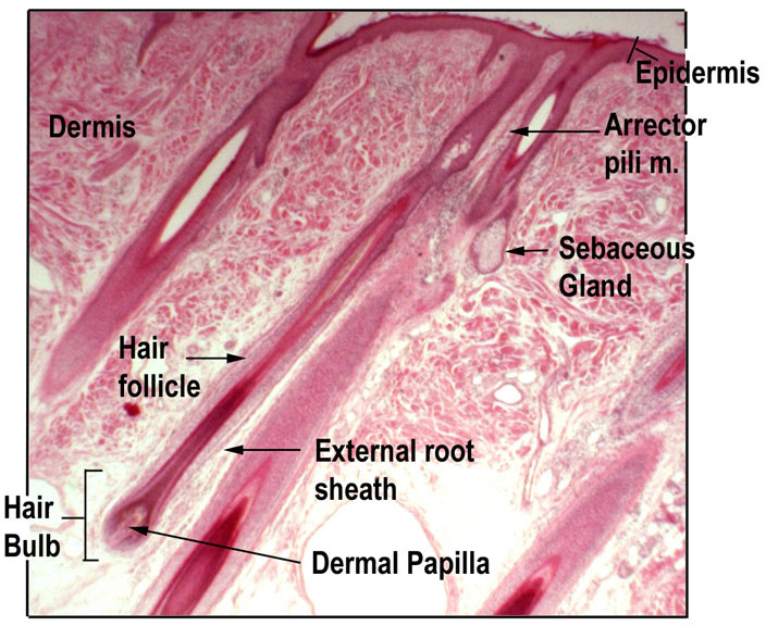 Hair And Nails Anatomy And Physiology I