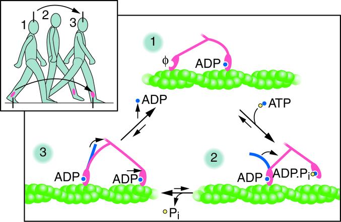 ATP to ADP conversion