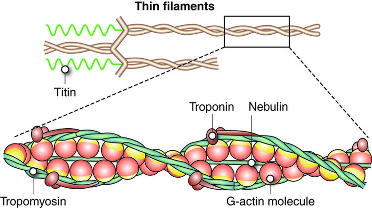 tropomyosin and troponin