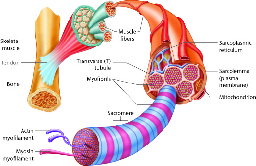 Muscular Levels Of Organization Anatomy And Physiology I