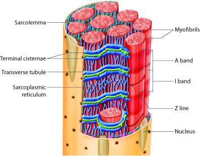 skeletal muscle fiber detail
