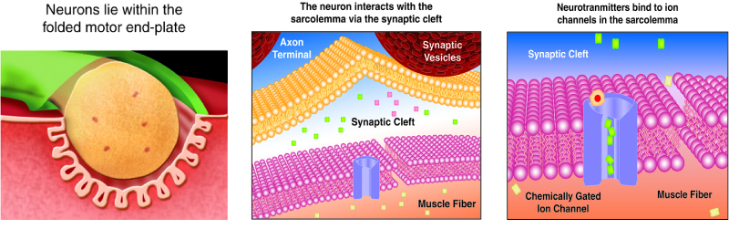 Neuromuscular Junctions And Muscle Contractions Anatomy And