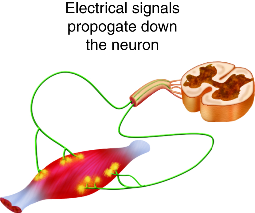 Neurons from the spinal cord excite skeletal muscle