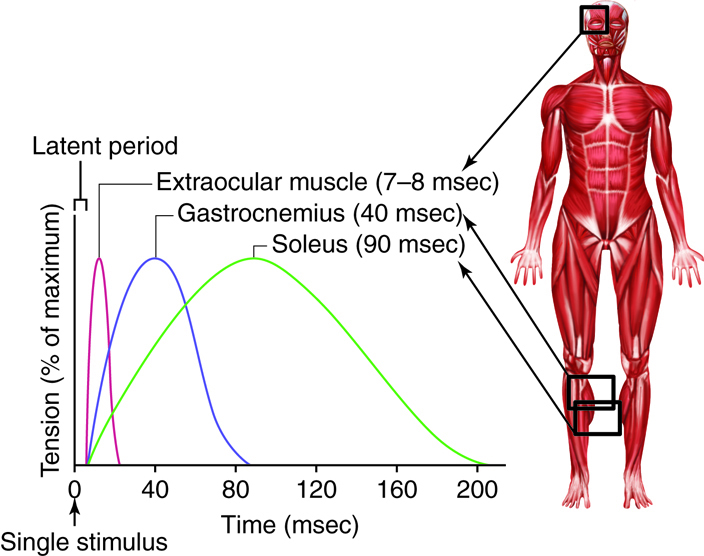 Neuromuscular Junctions and Muscle Contractions | Anatomy and