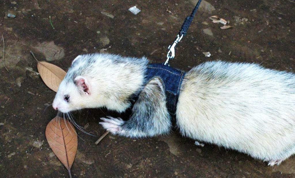 a ferret on a leash