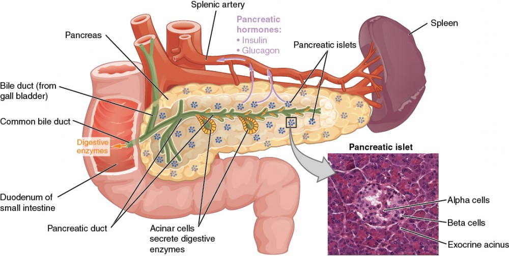 This diagram shows the anatomy of the pancreas. The left, larger side of the pancreas is seated within the curve of the duodenum of the small intestine. The smaller, rightmost tip of the pancreas is located near the spleen. The splenic artery is seen travelling to the spleen, however, it has several branches connecting to the pancreas. An interior view of the pancreas shows that the pancreatic duct is a large tube running through the center of the pancreas. It branches throughout its length in to several horseshoe- shaped pockets of acinar cells. These cells secrete digestive enzymes, which travel down the bile duct and into the small intestine. There are also small pancreatic islets scattered throughout the pancreas. The pancreatic islets secrete the pancreatic hormones insulin and glucagon into the splenic artery. An inset micrograph shows that the pancreatic islets are small discs of tissue consisting of a thin, outer ring called the exocrine acinus, a thicker, inner ring of beta cells and a central circle of alpha cells.