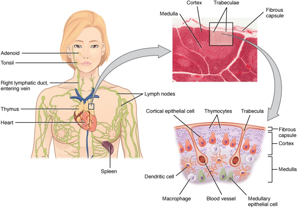 The left panel of this figure shows the head and chest of a woman and the location of the thymus is marked. The top right panel shows a micrograph of the thymus and the bottom right panel shows a magnified view of the structure of the thymus.