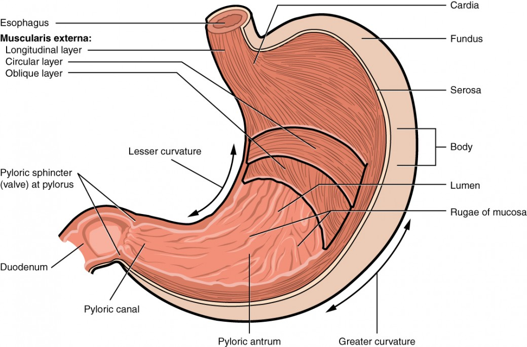 This image shows a cross-section of the stomach, and the major parts: the cardia, fundus, body and pylorus are labeled.