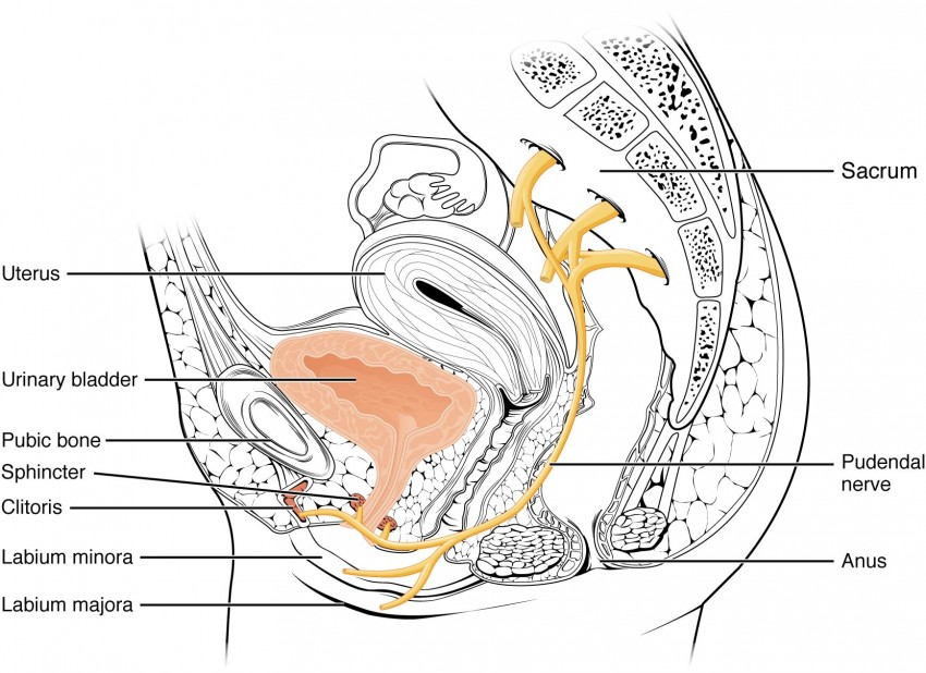This image shows the female urinary system and identifies the nerves that are important in this system.