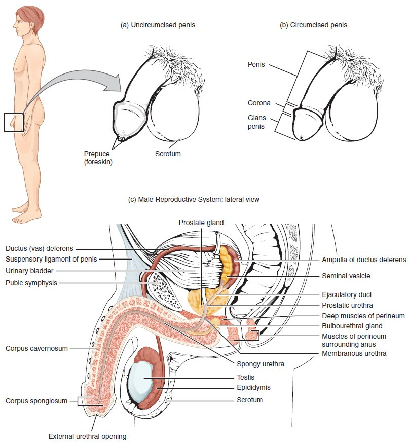 Anatomy and Physiology of the Male Reproductive System | Biology of ...