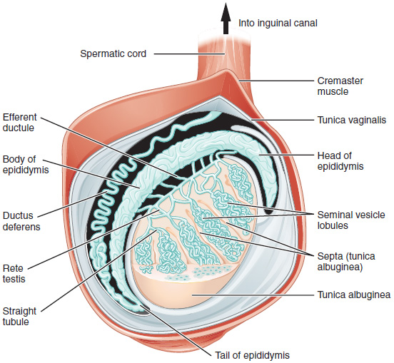 This diagram shows the cross section of the testis.