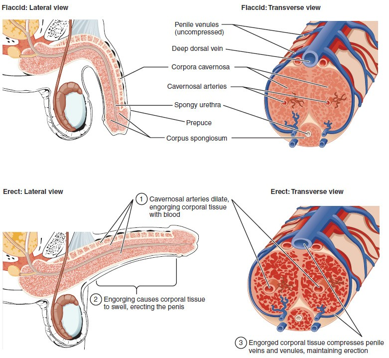This multipart diagram shows the cross section of the penis. The top left panel shows the lateral view of the flaccid penis and the top right panel shows the transverse view. The bottom left panel shows the lateral view of the erect penis and the bottom right panel shows the transverse view.