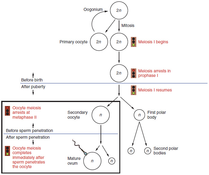 This flowchart shows the formation of oocytes in the female. The top half of the flowchart is before birth and the bottom half is after puberty. A callout to the left also shows the eggs before and after sperm penetration.