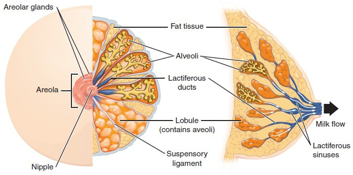 This figure shows the anatomy of the breast. The left panel shows the front view and the right panel shows the side view. The main parts are labeled.