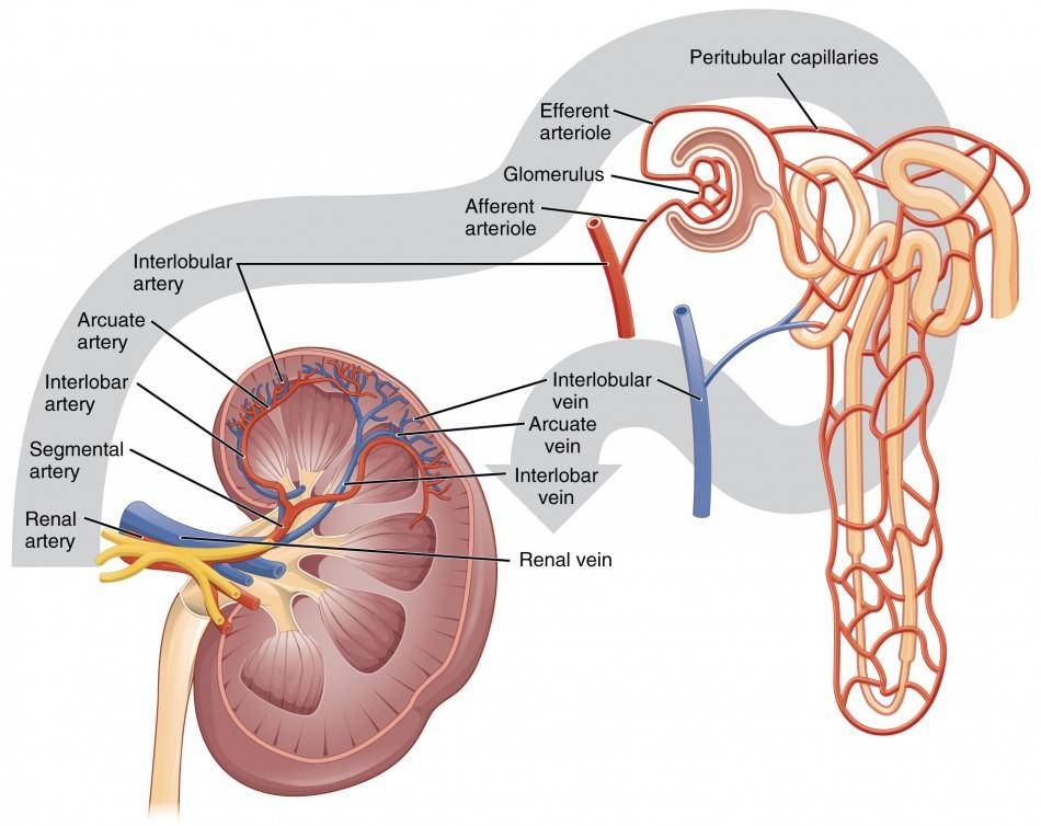 Gross Anatomy Of The Kidney Anatomy And Physiology Ii