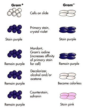 Gram stain microbiology lab take a look at the accompanying diagram of the stain procedure and its effects on the bacterial color during the crystal violet iodine step ccuart