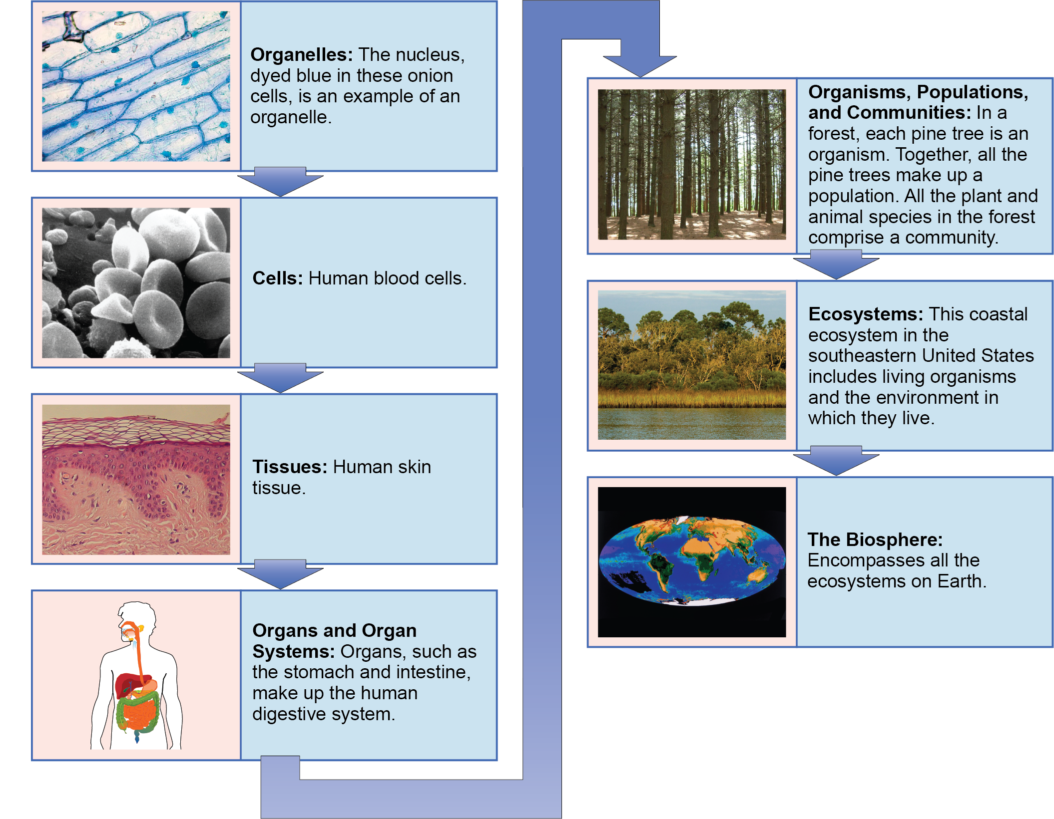 Themes And Concepts Of Biology Openstax Biology 2e