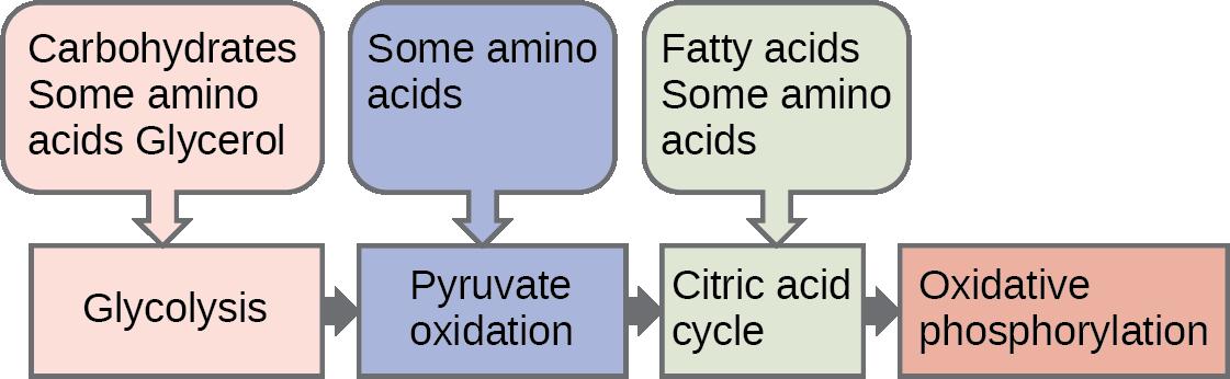 Ibuprofeno metabolismo los medios fáciles