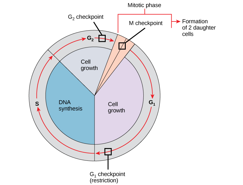 This illustration shows the three major checkpoints of the cell cycle: G_{1}, G_{2}, and M.