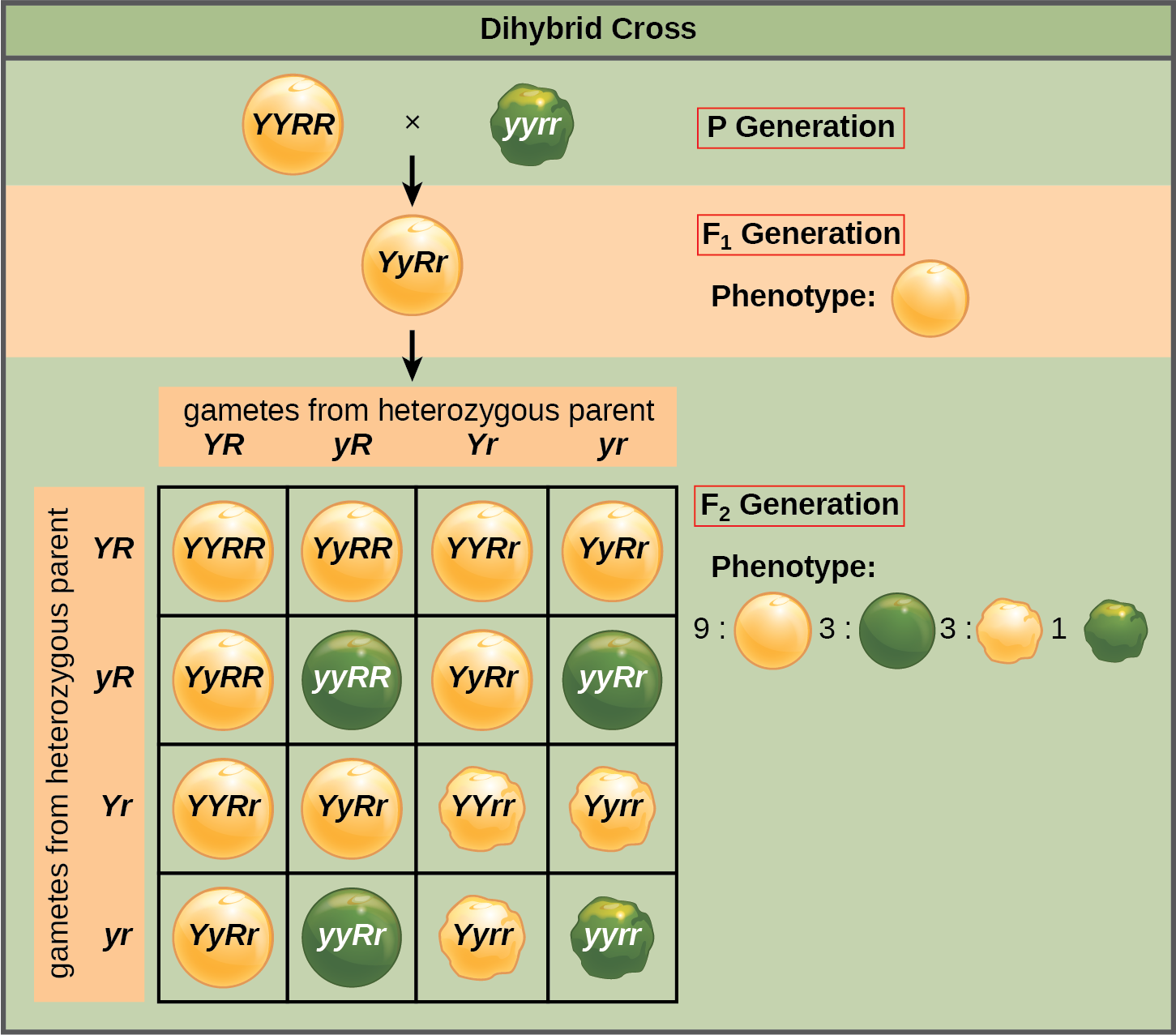 Laws of Inheritance | OpenStax Biology 2e