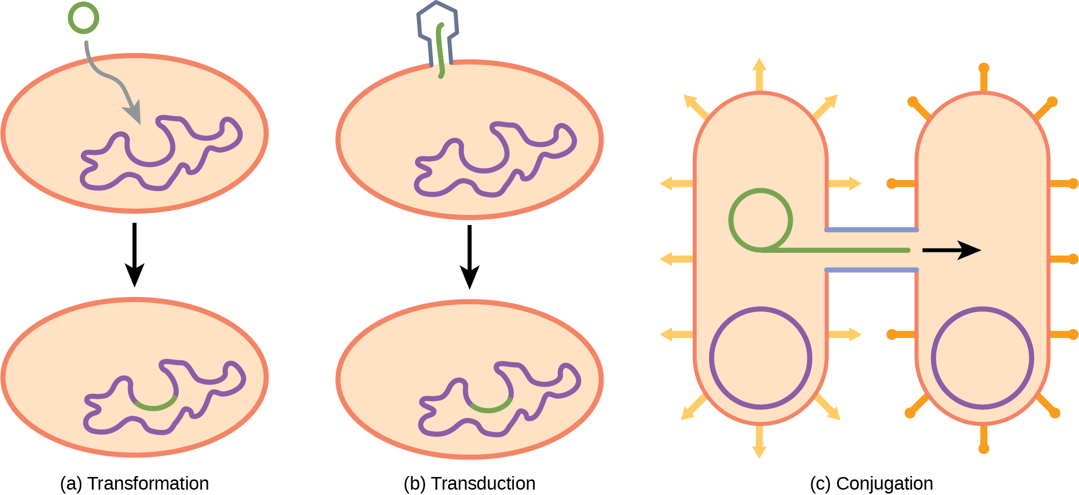 Structure Of Prokaryotes Bacteria And Archaea Openstax Biology 2e Review Prokaryotic Cells Illustration A Shows Small Circular Piece Dna Being Absorbed By Cell